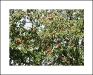 třešňové sady